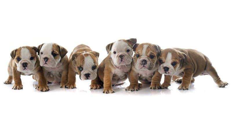 小狗英国牛头犬 库存图片