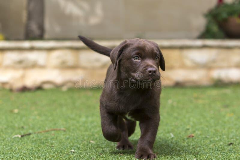 小狗褐巧克力色拉布拉多猎犬 库存图片