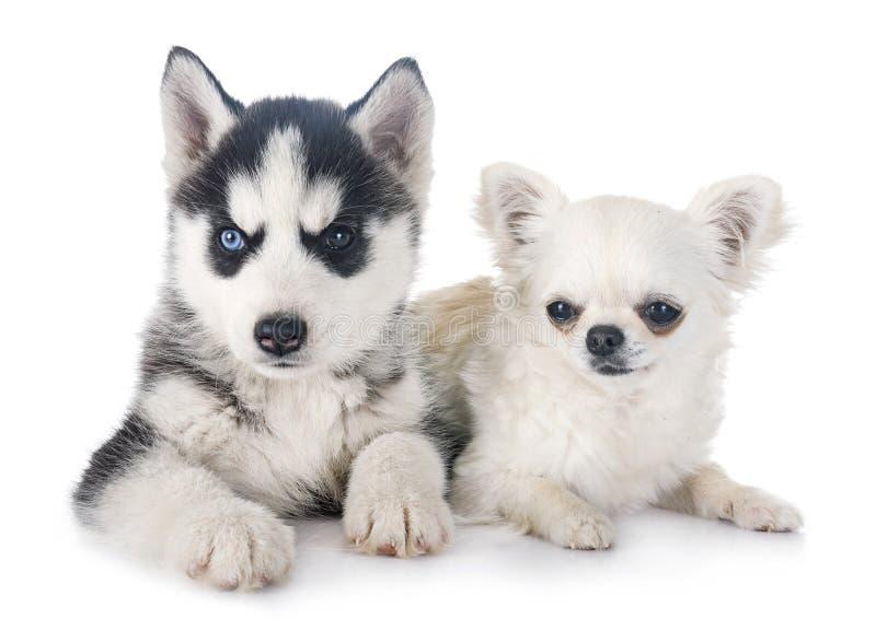 小狗西伯利亚爱斯基摩人和奇瓦瓦狗 免版税库存照片
