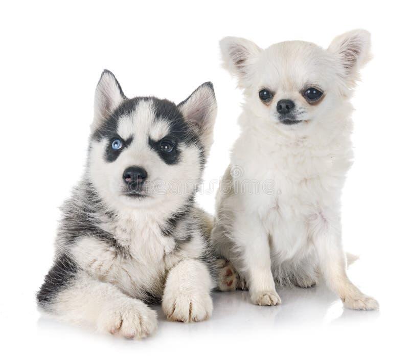 小狗西伯利亚爱斯基摩人和奇瓦瓦狗 库存照片