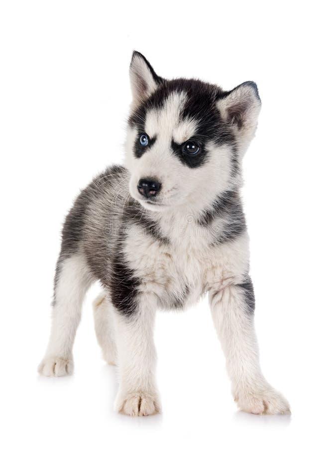 小狗西伯利亚爱斯基摩人 库存照片