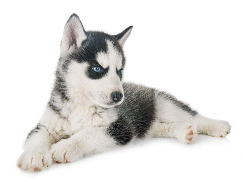 小狗西伯利亚爱斯基摩人 免版税库存图片