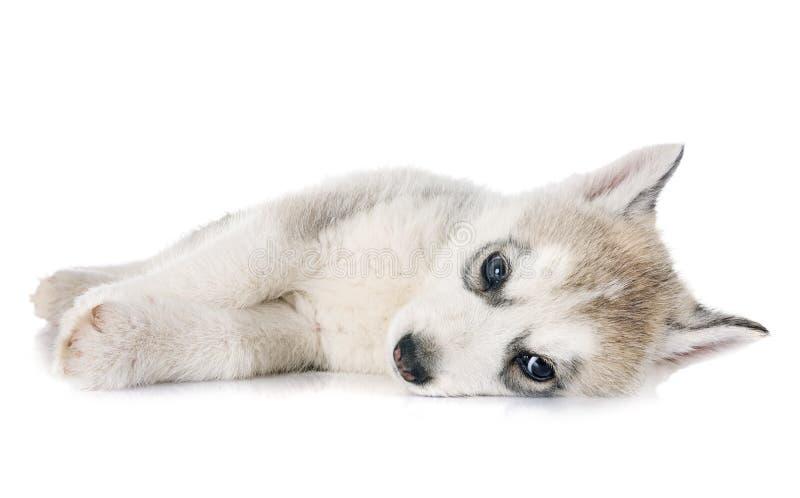 小狗西伯利亚爱斯基摩人 免版税图库摄影