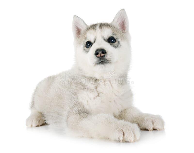 小狗西伯利亚爱斯基摩人 图库摄影