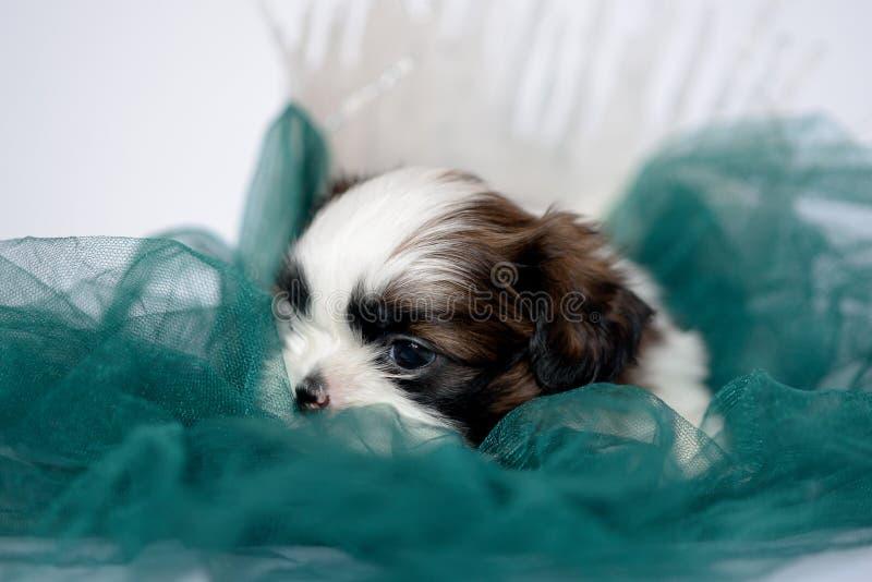 小狗说谎在一个绿色懒人的品种shitzu 免版税库存照片