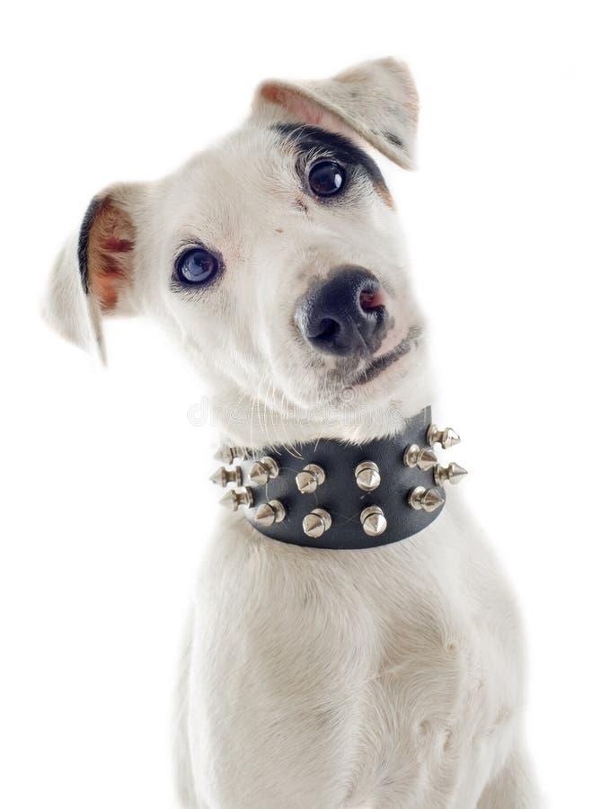 小狗起重器罗素狗 免版税库存图片