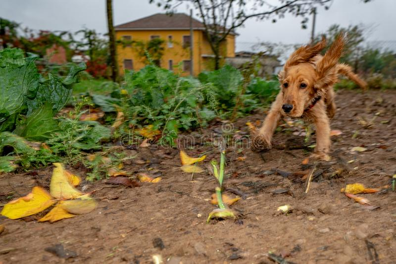 小狗跑在秋天庭院里的猎犬 免版税库存照片