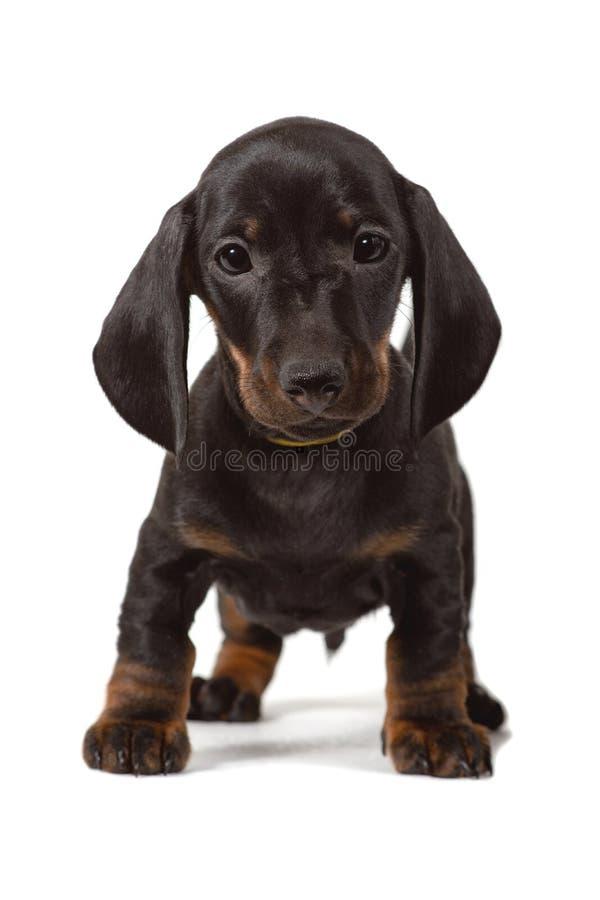小狗达克斯猎犬立场和凝视到照相机里,隔绝在白色背景 免版税库存图片