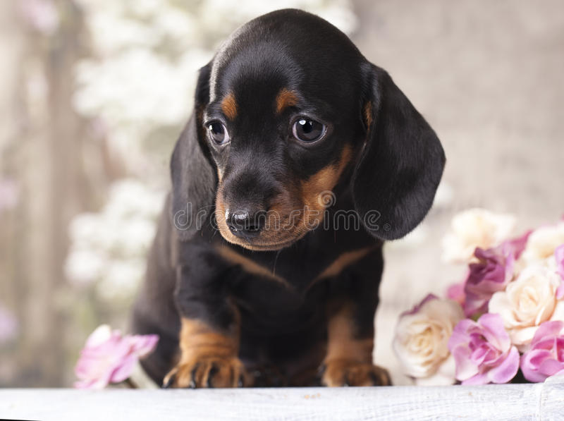小狗达克斯猎犬 库存图片