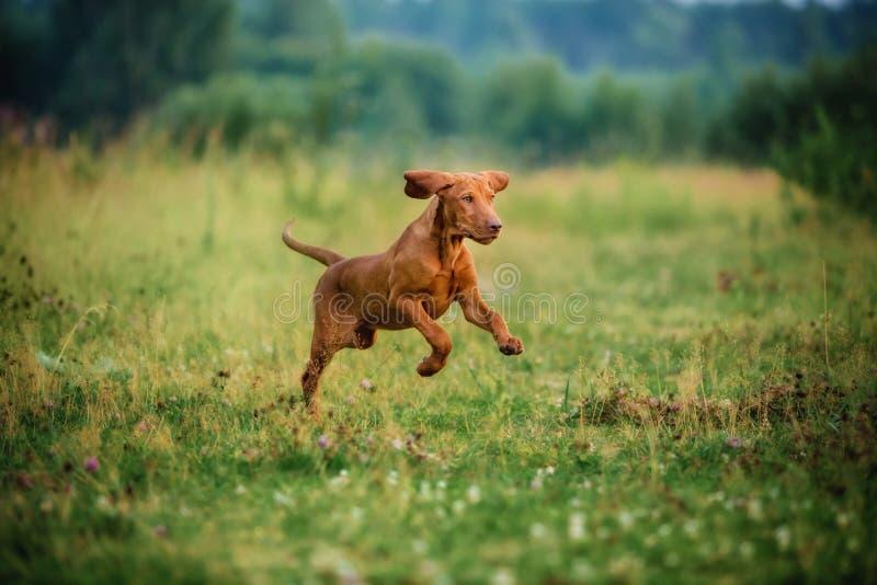 小狗逗人喜爱的vyzhla,跑在秋天领域的红色狗 免版税库存图片