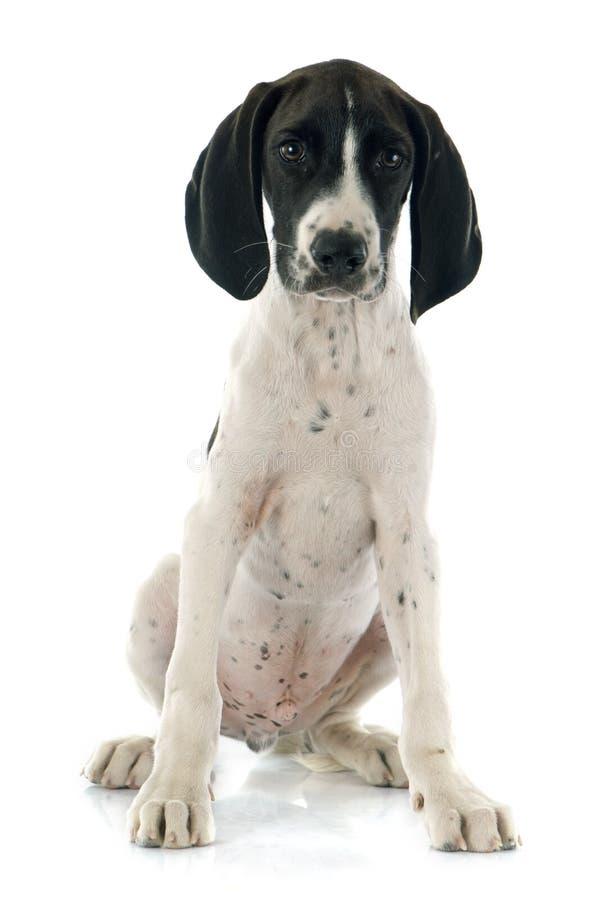 小狗Braque d'Auvergne 免版税库存图片