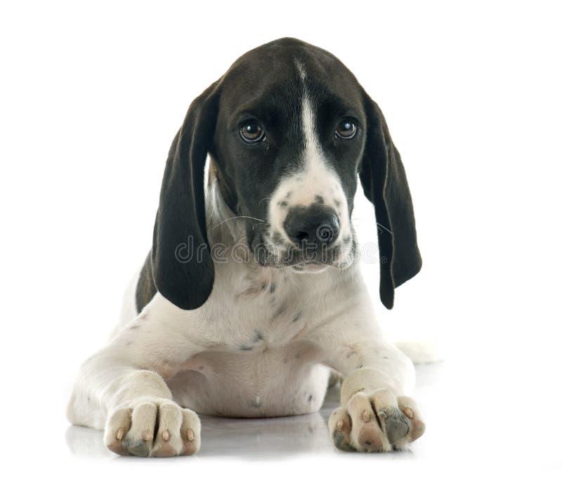小狗Braque d'Auvergne 库存照片