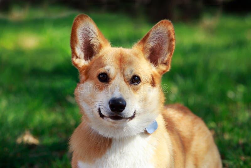 小狗pembroke威尔士 免版税库存照片