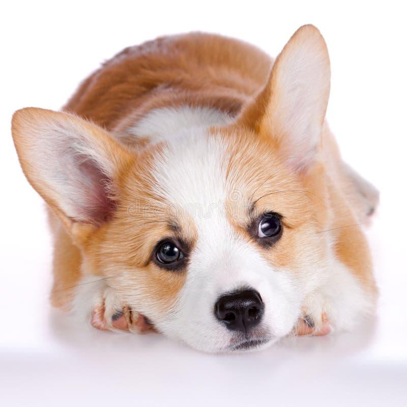 小狗pembroke小狗威尔士 免版税库存照片
