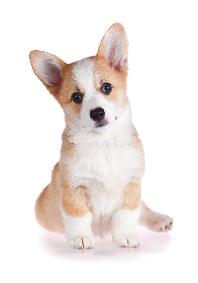 小狗pembroke小狗威尔士 库存图片