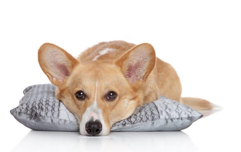 小狗pembroke枕头虚拟威尔士 免版税库存照片