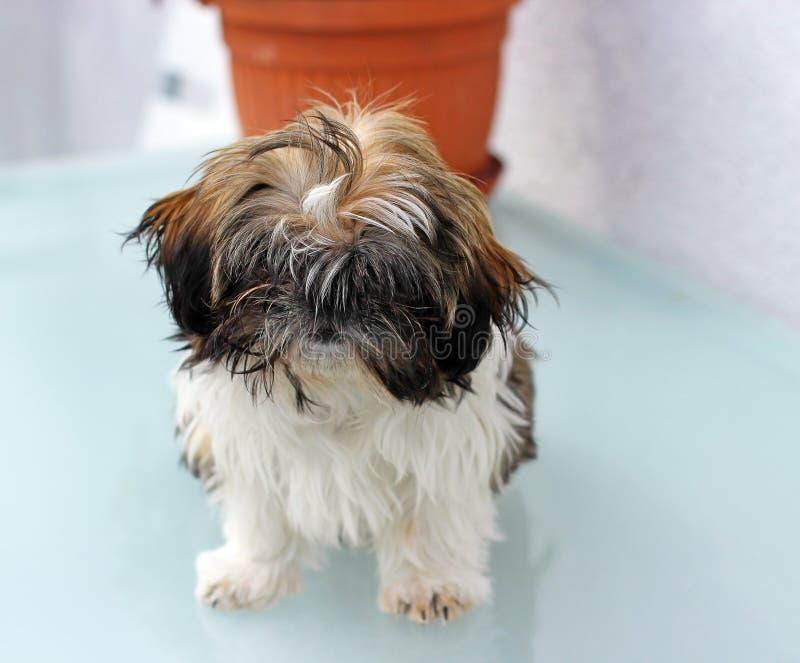 小狗shitzu 库存图片