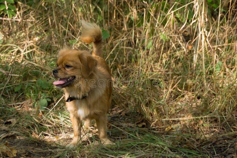 小狮子狗杂种动物  免版税库存照片