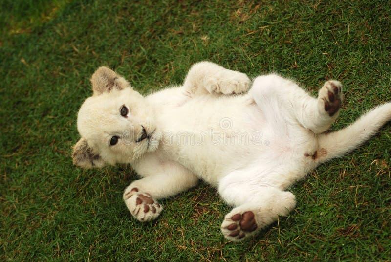 小狮子白色 免版税库存照片