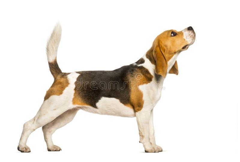 小猎犬反对白色背景的狗身分 免版税图库摄影