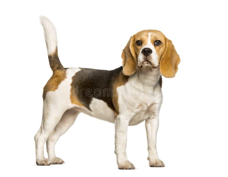 小猎犬反对白色背景的狗身分 免版税库存照片