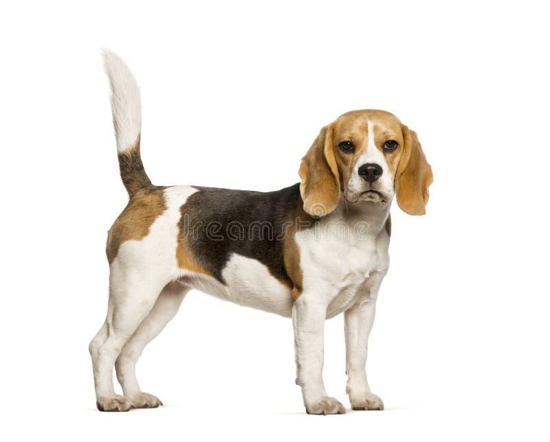 小猎犬反对白色背景的狗身分 免版税库存图片