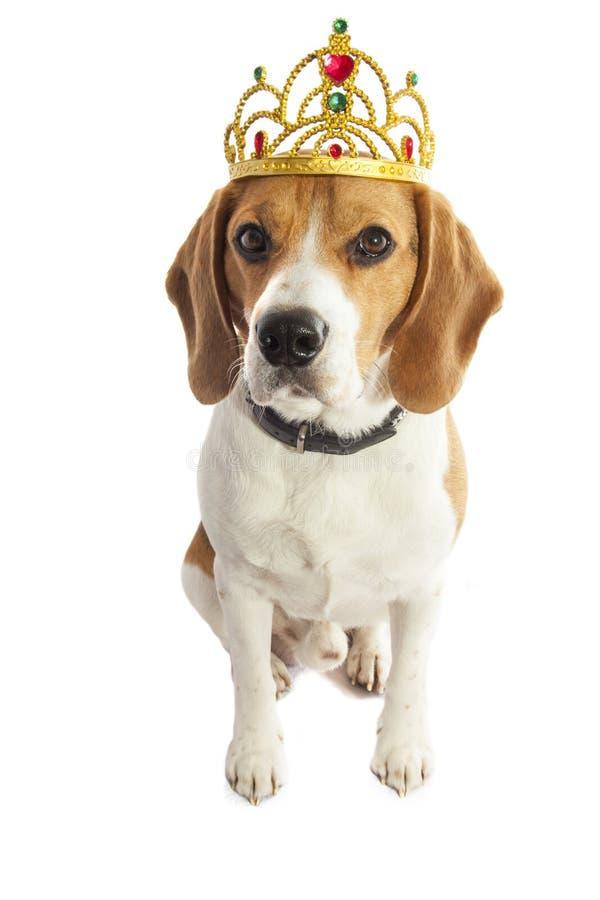 小猎犬国王 免版税库存图片