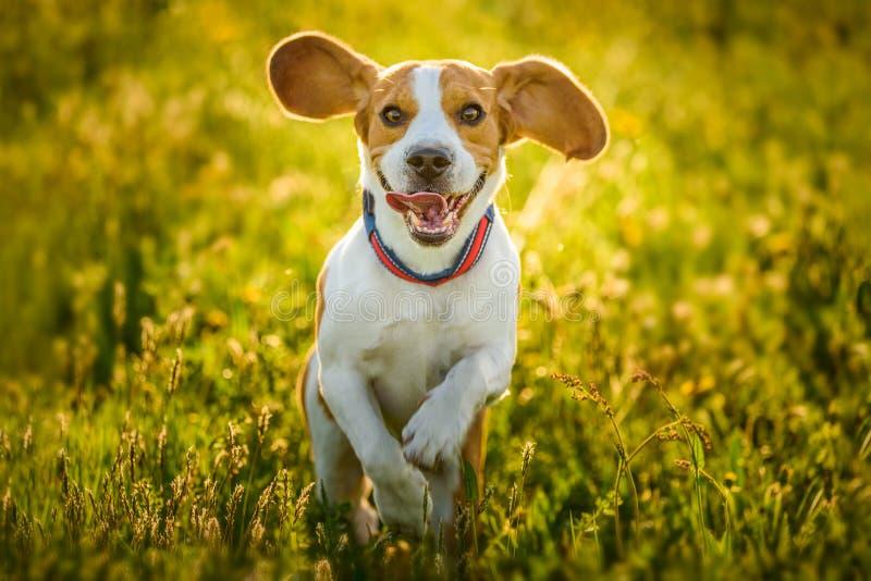 小猎犬在草甸的狗乐趣夏天户外奔跑和跃迁的 免版税库存照片