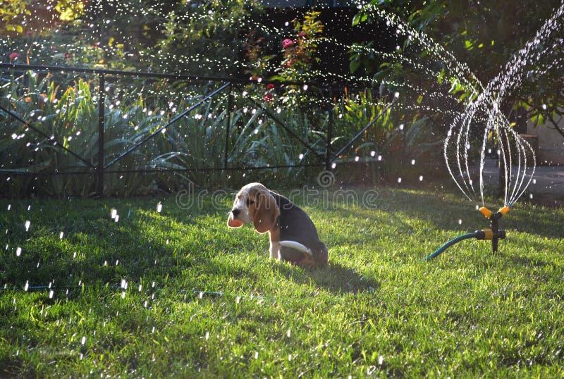 小猎犬小狗坐草坪,当浇灌时 免版税图库摄影