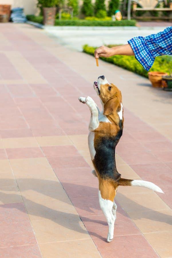 小猎犬替换者2腿 免版税图库摄影
