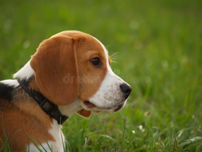 小猎犬爱被判刑 免版税库存图片