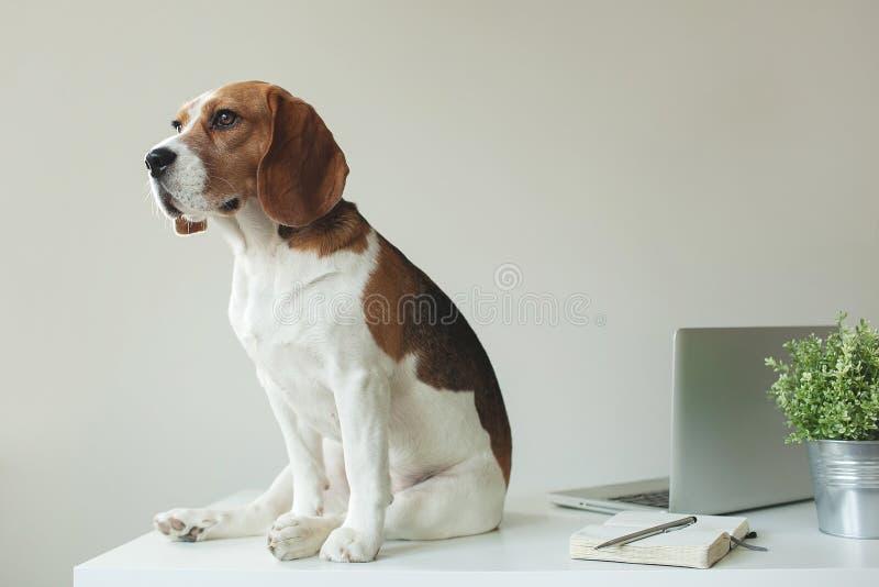 小猎犬狗在与膝上型计算机的办公室桌上 免版税库存图片