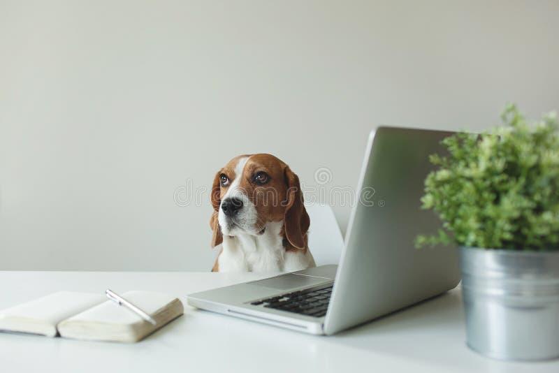 小猎犬狗在与膝上型计算机的办公室桌上 库存图片
