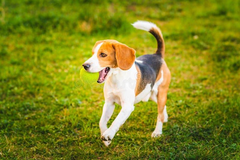 小猎犬狗在往照相机的庭院里跑与绿色球 免版税库存图片