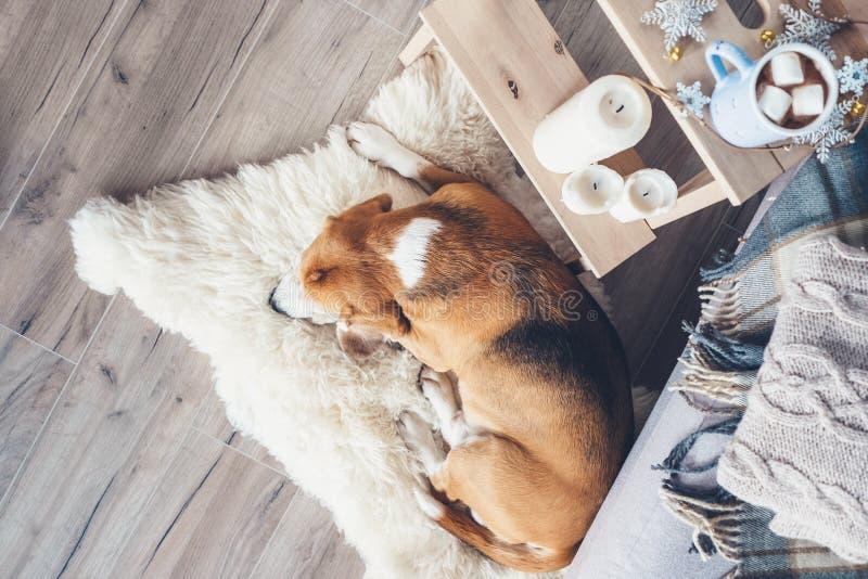 小猎犬狗在毛皮地毯睡觉在客厅,舒适圣诞节t 免版税库存照片