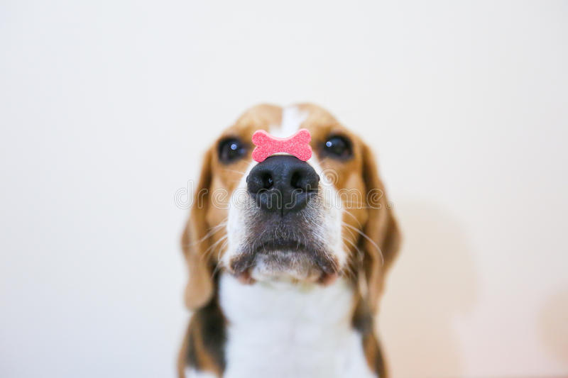 小猎犬狗是集中在快餐 免版税库存照片