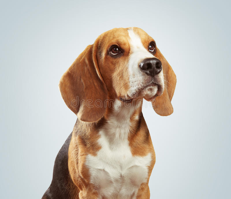 小猎犬狗演播室画象在浅灰色的背景的 库存图片