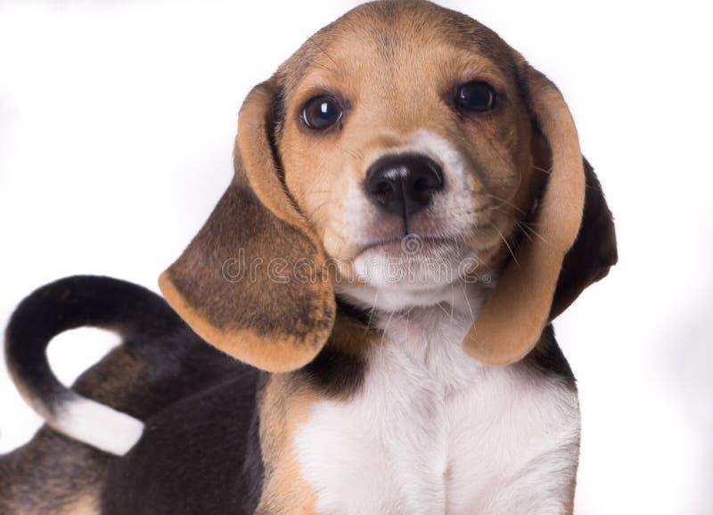 小猎犬狗白尾相机近景画 库存照片
