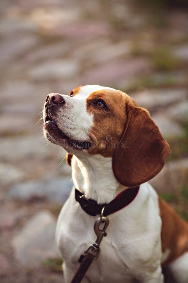 小猎犬狗纵向 图库摄影