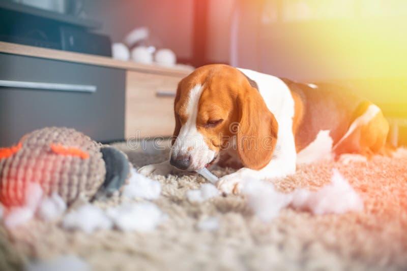 小猎犬狗裂口一个玩具到在地毯的片断里 图库摄影