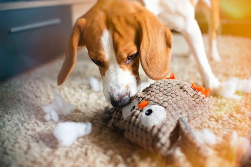 小猎犬狗裂口一个玩具到在地毯的片断里 免版税图库摄影
