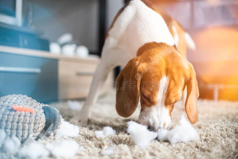 小猎犬狗裂口一个玩具到在地毯的片断里 免版税库存照片