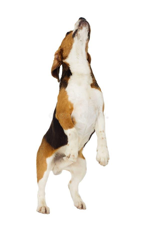 小猎犬狗跳跃 库存图片