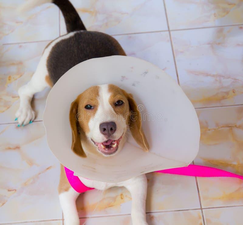 小猎犬狗 图库摄影