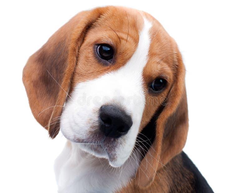 小猎犬逗人喜爱的小狗 库存照片