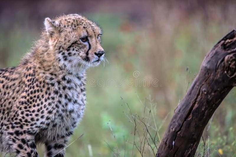 小猎豹在克留格尔国家公园 库存照片