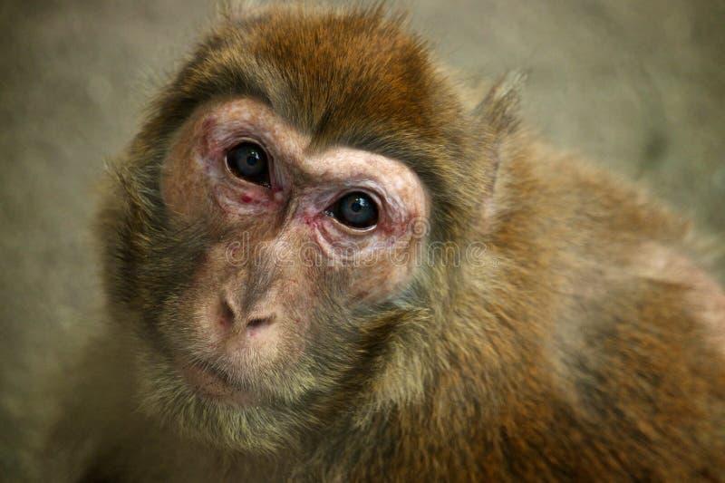 小猩猩sumatran 库存照片