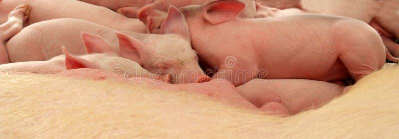小猪休眠 免版税库存图片