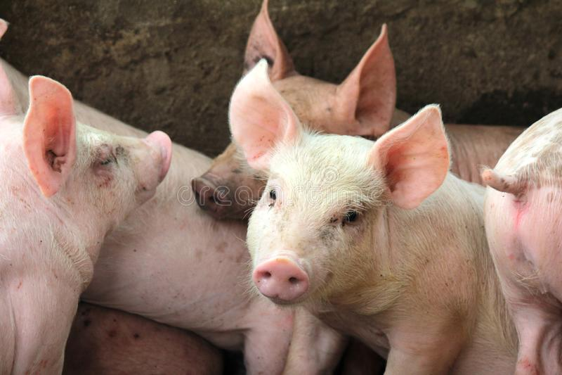 小猪在槽枥 库存图片