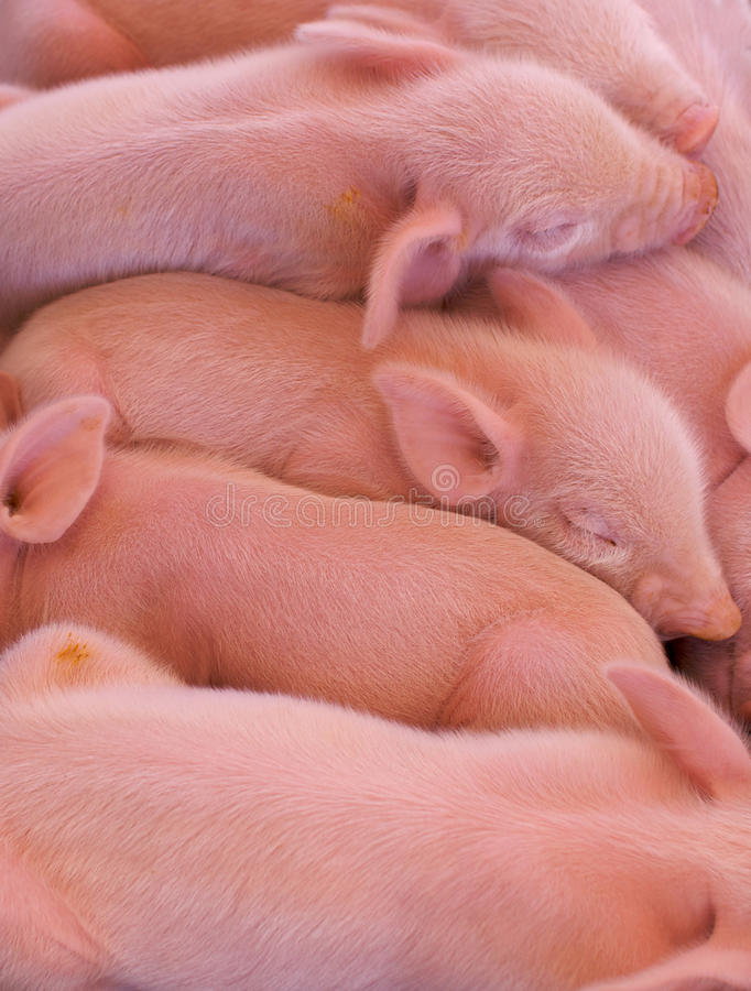 小猪堆 免版税库存图片